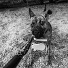 Guinness21Oct201748-Edit.jpg (fredstrobel) Tags: dogs pawsatanta phototype atlanta blackandwhite usa animals ga pets places pawsdogs decatur georgia unitedstates us
