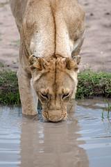 Mara Safari-0084.jpg (MudflapDC) Tags: plains lioness drinking kenya safari reflection lion gamewatchers water maasaimara wilderness africa vacation masai mara porinilioncamp