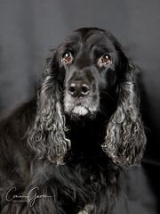 42/52 - Sammy 2017 (conniegavin12) Tags: 52weeksfordogs fieldspaniel spaniel dog pet