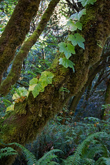 Moss and Ivy - Redwood National Park (Ernie Orr) Tags: bobrussell rmrussell prairiecreek prairiecreekstatepark redwoodnationalpark redwood redwoods nationalpark