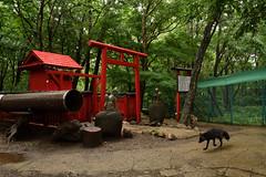 宮城蔵王 キツネ村 - Zao Fox Village (Hachimaki123) Tags: 日本 japan キツネ 狐 fox zorro animal 動物 宮城蔵王キツネ村 キツネ村 zaofoxvillage kitsunemura torii 鳥居