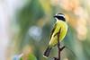 GUEJ_2016-11-21_07-32-17 (jsguenette) Tags: bird birding birdwatching faune mexique2016 oiseau ornithologie ornithology socialflycatcher tyransociable wildlife quintanaroo mexique mx myiozetetessimilis