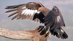 MRC_7515 Golden Eagle / Aguila Real (Explored) (Obsies) Tags: eagle goldeneagle aguilareal aguila d5 nikon raptor birdsofprey nature wild birds naturaleza pajaros