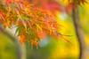 the colors of autumn (florian.boepple) Tags: small leaves green macro close bokeh nature plant grow sun klein blätter grün nah natur pflanze details wachsen sonne canon eos 700d sigma 105mm autumn herbst yellow gelb rot red orange park stadtpark