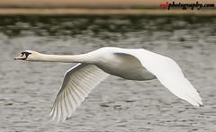 Wildlife @ Hyde Park, London (rvk82) Tags: 2017 birds england hydepark london may may2017 nikkor70200mm nikon nikond500 rvk rvkphotography raghukumar raghukumarphotography wildlife rvkphotographycom unitedkingdom gb rvkonlinecom