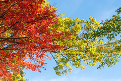 Up (Chancy Rendezvous) Tags: up foliage autumn fall sky leaves red yellow branches trees lookingup abstract abstraction chancyrendezvous