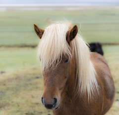 Northern blonde beauty (Sizun Eye (OFF for a while)) Tags: horse icelandic iceland animal beauty sizuneye nikond750 tamron2470mmf28