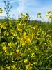 Isates tinctoria (Nelleke C) Tags: 2017 spiegelwaal veurlent brassicaceae dijk dike floodplain flora gelderland isatestinctoria lent nederland netherlands nijmegen uiterwaard waal wede woad