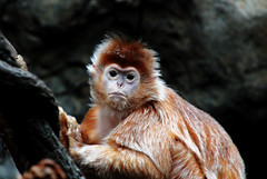 monkey portrait (Millie (On and Off)) Tags: langur monkey wild portrait bronxzoo newyork zoo tamron18400 animalplanet zoosofnorthamerica inspiredbylove saveearth soe