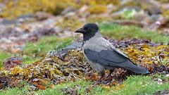 Highland Hoodie (KHR Images) Tags: hoodedcrow corvuscornix wild bird crows corvid corvidae lochduich scottish highlands scotland hoodie hoody wildlife nature nikon d500 kevinrobson khrimages