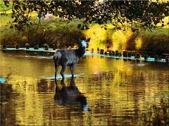 Deer in the golden water (Ostseetroll) Tags: deu deutschland geo:lat=5394983666 geo:lon=1003613306 geotagged heidmühlen schleswigholstein wildparkeekholt hirsch wasser water spiegelungen reflections deer