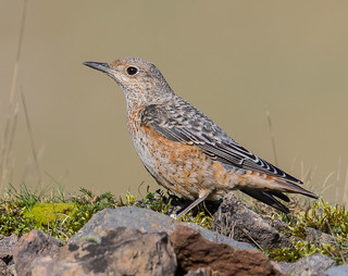 Common Rock Thrush, male. Pwll-du, Gwent.  DSC_5662.jpg