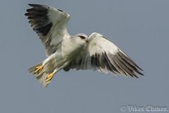 Black-winged Kite. (Vikas.B.Chavan) Tags: blackwingedkite elanuscaeruleus nikond7100 afsnikkor300mmf4difed nikontc17eii