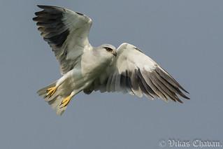 Black-winged Kite.