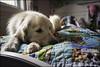 "43-52 ""story time"" (Dave (www.thePhotonWhisperer.com)) Tags: story bedtime bedtimestory dog goldenretriever golden 52weeksfordogs 52weeksforbruno dogversation bed"