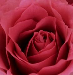 Pretty pink rose 😁🌹 (LeanneHall3 :-)) Tags: pink rose rosepetal petals flower flowerarebeautiful flowersarefabulous closeup closeupphotography canon 1300d