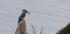 Kingfisher-7026 (WendyCoops224) Tags: 100400mml 70d woodwaltonfen canon eos ©wendycooper alcedo athis kingfisher