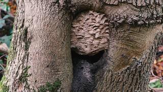 European hornets (Vespa crabro) in and around nest