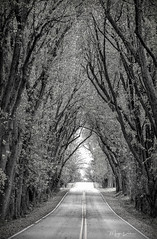 The Enchanted Road (Margo Dolan) Tags: cedarburg wisconsin canopy enchanted canon 6d 70200 monochrome blackandwhite fall autumn woods ozaukee branches trunk rural country spooky arches leaves topaz leadinglines