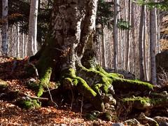 Roots (pepa_carbassa) Tags: naturalezacautivadora naturaleza natura arrels raíces racines roots pirineos pirineus pyrenees pyrénées