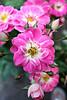 2017 Sydney: Pink Roses #2 (dominotic) Tags: 2017 flower petals pinkrose nature rosebuds sydney australia