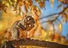 I Love Peanuts (http://fineartamerica.com/profiles/robert-bales.ht) Tags: animals emmett haybales idaho people photo places squirrelorchiper states squirrel easternfoxsquirrel sciurusniger gameanimal animal rodent sciuridae mammal gray bushtail trees peanut nuts squirrelphotography backyardanimal animalphotography beautiful sensational spectacular scenicphotography awesome magnificent surreal sublime magical inspiring inspirational canonshooter scenic wildlife sciurus whiskers fox cute furry nature robertbales iphoneprofile peanuts