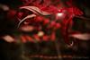 Sumac d'automne ... ( P-A) Tags: sumac vinaigrier arbres arbustes plantes vertes rouges flamboyantes belles magiques forêt région automne nature photos simpa© rougeetnoir