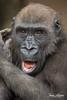 Joanne (ToddLahman) Tags: joanne beautiful female westernlowlandgorilla gorilla portrait photooftheday outdoors mammal canon7dmkii canon canon100400 closeup winston imani sandiegozoosafaripark safaripark escondido eyelock