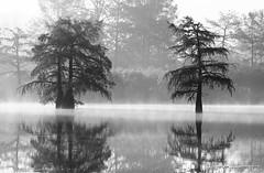 Etang de la Roche (paul.porral) Tags: water landscape cyprès forest autumn automne fog trees blackwhite bnw bw lake refletmiroir reflets reflection france rhônealpes paysage flickr rhonealpes blackandwhite cyprèschauves
