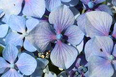 Hydrangea macrophylla (Thunb.) Ser. (Afonso F. Gomes) Tags: hydrangea macrophylla jardim gardening flora flower botanical botanic jardimbotânicoutad flores botanica