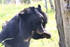V061 Sampo 3Nov2017 (22) (Animals Asia) Tags: animalsasia vietnam vbrc vietnambearrescuecentre sampo moonbearmonday moonbear