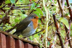 Heaven sent (stellagrimsdale) Tags: robin bird red fence redbreast nature wildlife 7d 7dwf fantasticnature