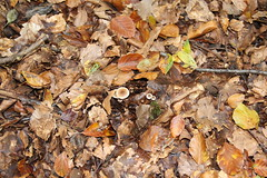 epp40 (Tony Wyatt Photography) Tags: eppingforest epping forest london woods trees beech mushrooms flyagaric alienmushroom puffball corporationoflondon autumn roots treeroots austin austinofengland austincar oldfolks