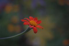 """Fiesta del Sol"" (milance1965) Tags: sonnenblume fackelblume mexikanischesonnenblume rot flora macro canon 50d 50mm 1 4"