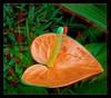 Longwood Gardens Flowers 16 - Anaglyph 3D (DarkOnus) Tags: anthurium anaglyph pennsylvania bucks county panasonic lumix dmcfz35 3d stereogram stereography stereo darkonus longwood gardens flowers scenic scenery flower botanical garden