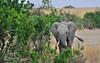 #08  Elefante Africano - Elephantidae Loxodonta Africana (José M. F. Almeida) Tags: kenya masai mara wildlife africa 2017 august reserv elefante africano elephantidae loxodonta africana quenia quênia safari