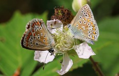 Commin Blue (Male & Female) 200717 (3) (Richard Collier - Wildlife and Travel Photography) Tags: wildlife naturalhistory british insects butterflies commonblue macro closeup naturethroughthelens ngc