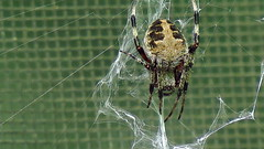 Arachtober day 3   Explored 10/4/2017 Thank you!! (Hayseed52) Tags: spider spiderweb green mesh doorscreen nature