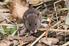 Mouse or baby rat? (Shane Jones) Tags: rodent rat mouse mammal wildlife nature nikon d500 200400vr tc14eii