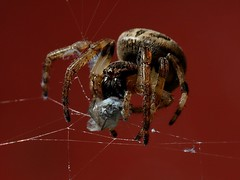 G-P-9-brown jumping spider wapping up it's next meal