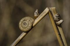 DSC_8391 (kbl phtogaphy) Tags: caracol cargol naturaleza macro natura nikon nikon5100 macro105 animales