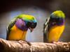 gouldian finch pair (AlistairKiwi) Tags: gouldian finch bird zoo wagga nsw australia olympus omd bokeh animal wood