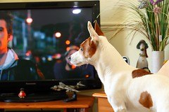 Tyson watching TV (Keith Coldron) Tags: tyson dog canine pet home