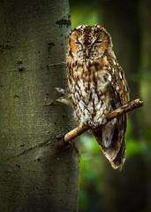 Wild Tawny Owl (Jez Nunn) Tags: wildtawnyowlbirdwildlifenatured7200sussex