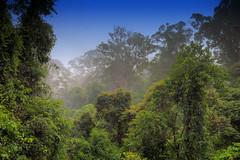Morning Mist rising off the Primary Dipterocarp Rainforest, Danum Valley Conservation Area, Borneo, Sabah, Malaysia (klauslang99) Tags: nature naturalworld morning mist fog trees landscape danum valley dipterocarp rainforest borneo malaysia klauslang