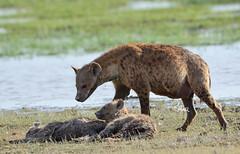 Hyena checking on the sleeping cubs - 8996b+ (teagden) Tags: hyena spottedhyena hyenacub cub cubs jenniferhall jenhall jenhallphotography jenhallwildlifephotography wildlifephotography wildlife nature naturephotography photography nikon wild dkgrandsafaris safari safarisunday kenyasafari africasafari africansafari amboselinationalpark amboseli amboselikenya kenya kenyawildlife kenyaafrica africa africanwildlife african africanphotography