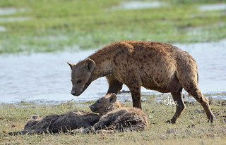 Hyena checking on the sleeping cubs - 8996b+