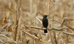 How do you get out of this corn maze? (Kim's Pics :)) Tags: blackbird animal perched black bird corn stalks maze fall autumn dried plants contrastingcolors feathers spindlylegs manitoba canada amazeincorn sunrays5 ngc npc