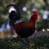 Canon269460 (godrudy6661) Tags: neworleans darktable ninthward chicken rooster