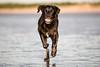 Head on. (Marcus Legg) Tags: max dog blacklabradorretriever black labrador retriever running bokeh beach sea sand wetdog water wet fur fun joy